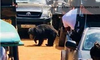 Sri Lanka News for Minister vows action after Yala bear saga