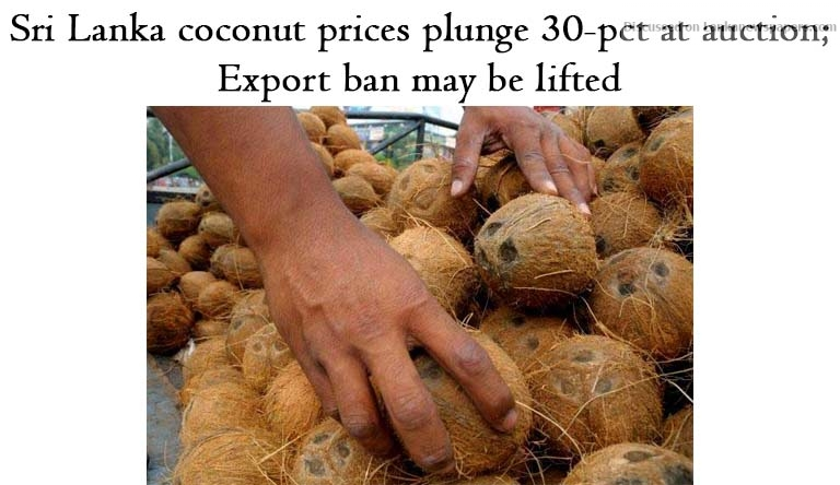 Sri Lanka News for Sri Lanka coconut prices plunge 30-pct at auction; export ban may be lifted