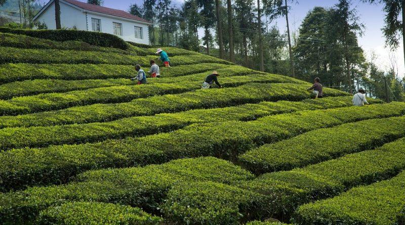 tea garden 2221915 960 720 in sri lankan news
