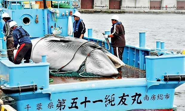Sri Lanka News for Japan to resume commercial whaling after pulling out of IWC