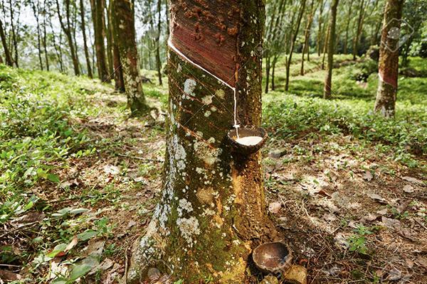 rubber 1 in sri lankan news