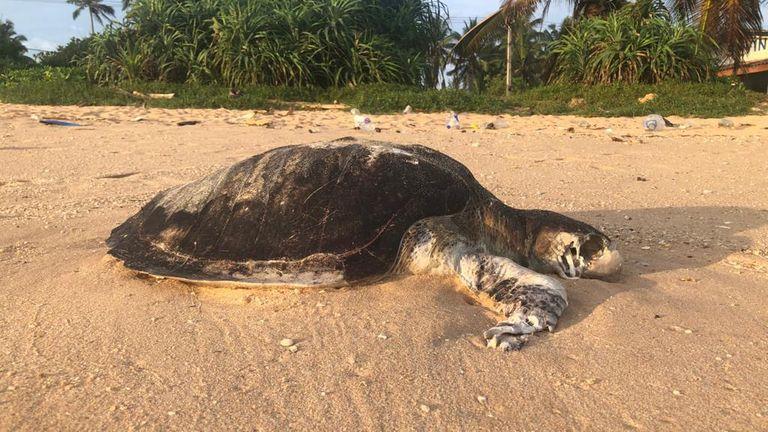skynews turtle sri lanka ship 5403871 in sri lankan news